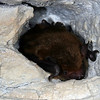 Eastern Pipistril Bat (Pipistrellus subflavus) overwintering in a cave; Jefferson Co, IN