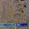 Bear track on dirt road; Macon Co, NC