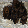 A large group of Eastern Pipistril Bat (Pipistrellus subflavus) overwintering in a cave; Jefferson Co, IN