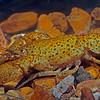 Freckled Crayfish (Cambarus maculatus)