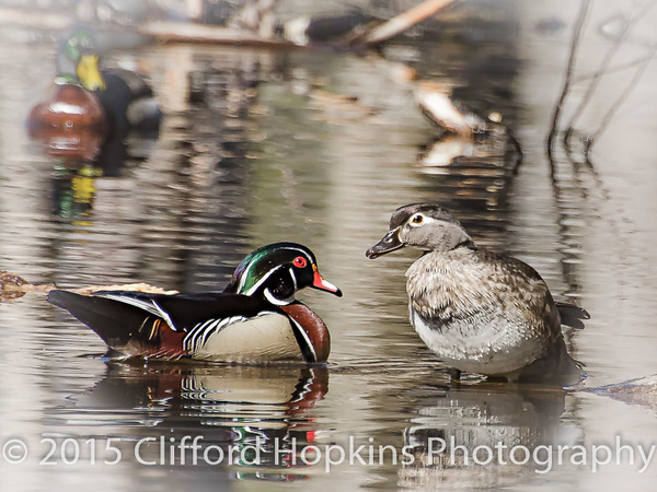 Wood Duck Drake getting a scolding