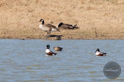 Northern Shoveler / Canada Geese