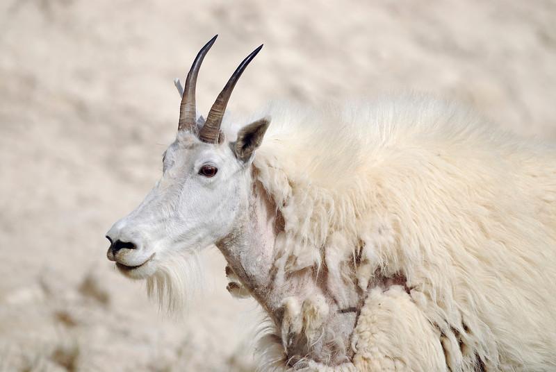 Mother Mountain Goat in Alberta
