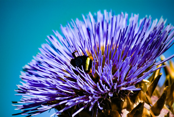 Bumble Bee on Artichoke Flower