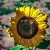 Honey Bees on Sunflower