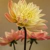 _DSC5333 - Fine Art Photography - Dahlia #1