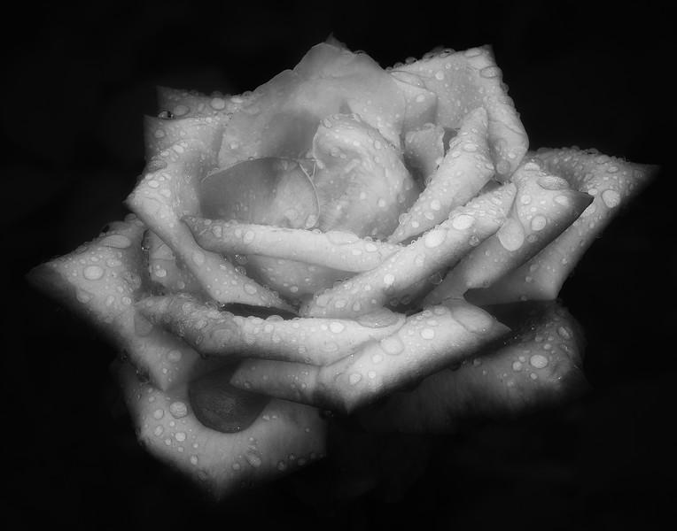 Reynolda Gardens Rose in the Rain