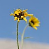 South Dakota Roadside Flower