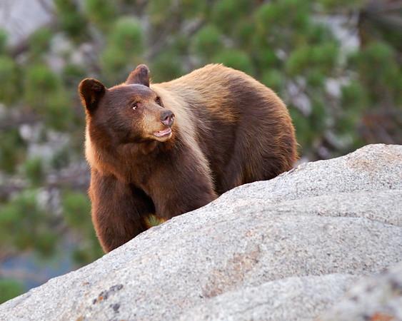 Yosemite Bear #1