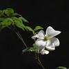Reynolda Gardens Dogwood Bloom #1
