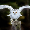 Snowy Owl Here I come, Ready or Not!