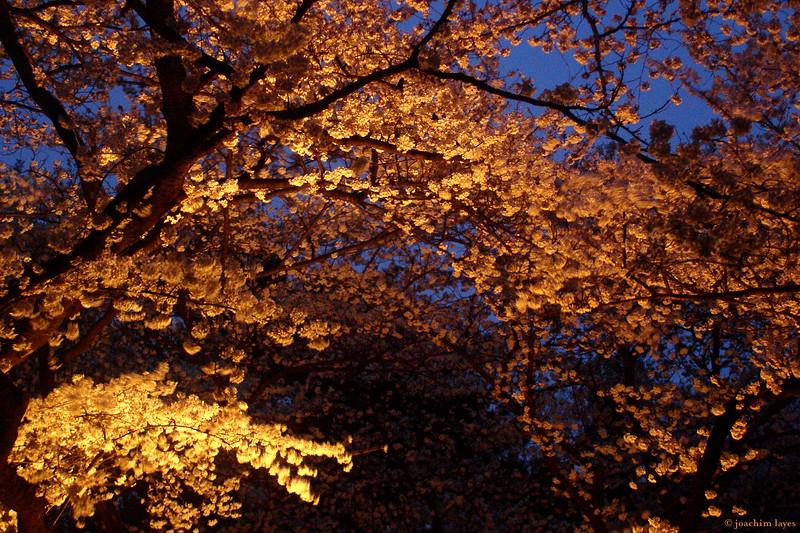 Japanese Sakura - 7