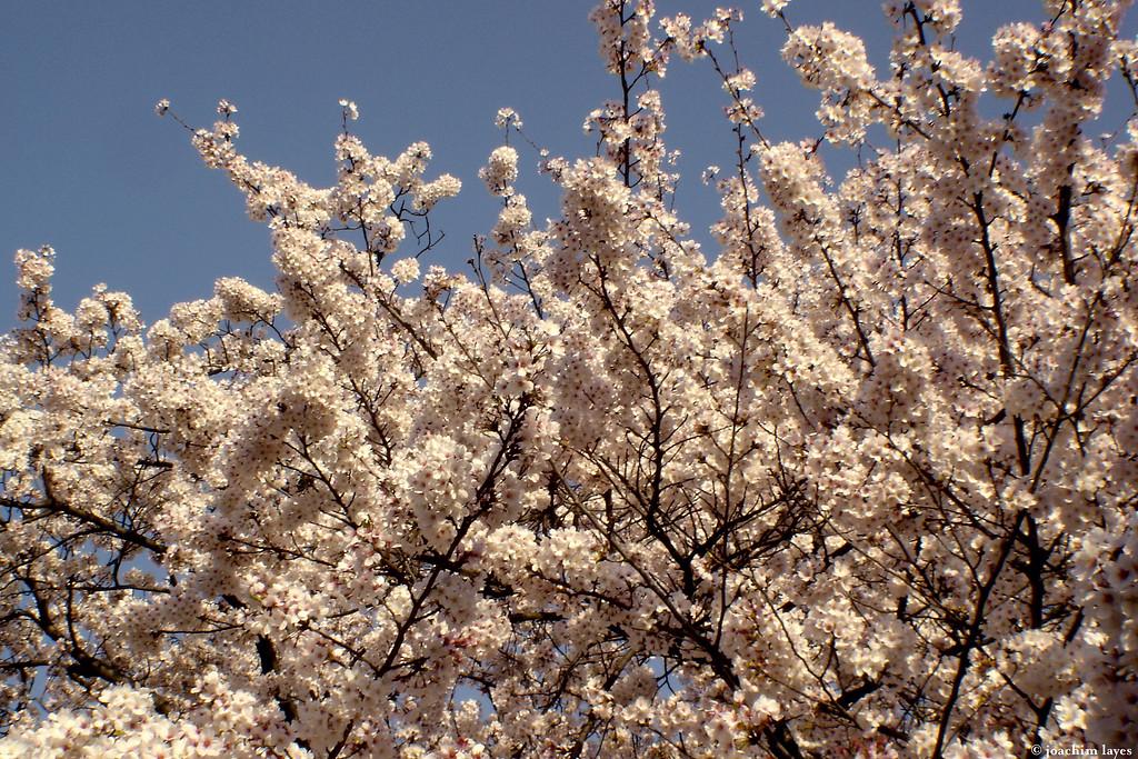 Japanese Sakura - 6