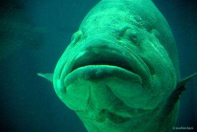 Garoupa fish