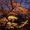 Japanese Sakura - 3