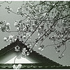 Japanese Sakura - 11