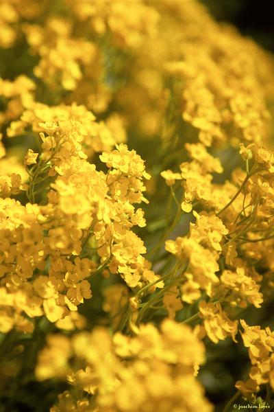 Basket of Gold (Aurinia saxatilis)