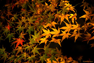 Japan autumn leaves - 4