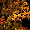 Japan autumn leaves - 4