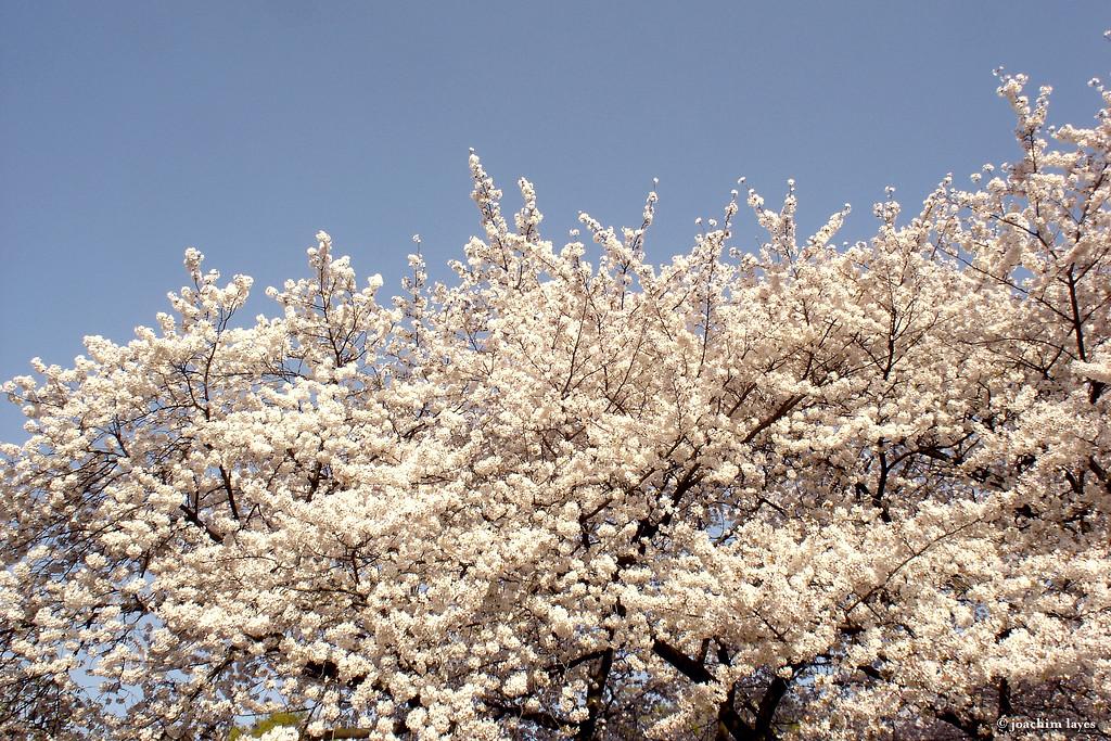 Japanese Sakura - 1