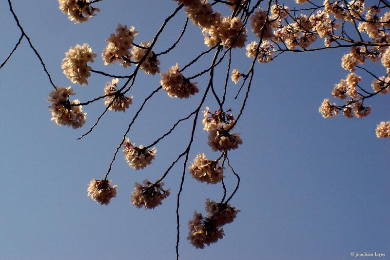 Japanese Sakura - 8
