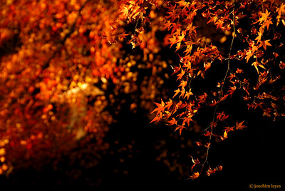 Japan autumn leaves - 3