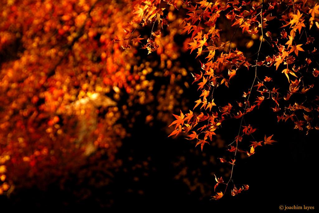Japan autumn leaves - 3