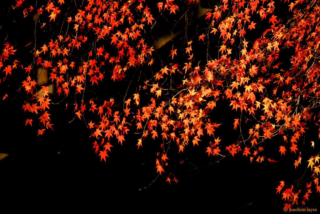 Japan autumn leaves - 5