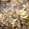 Japanese Sakura - 4
