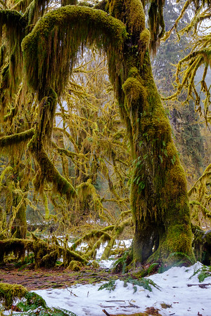 20170311 Hoh Rainforest 010