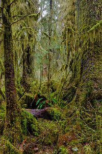20170311 Hoh Rainforest 027