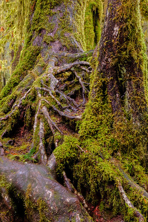 20170311 Hoh Rainforest 017