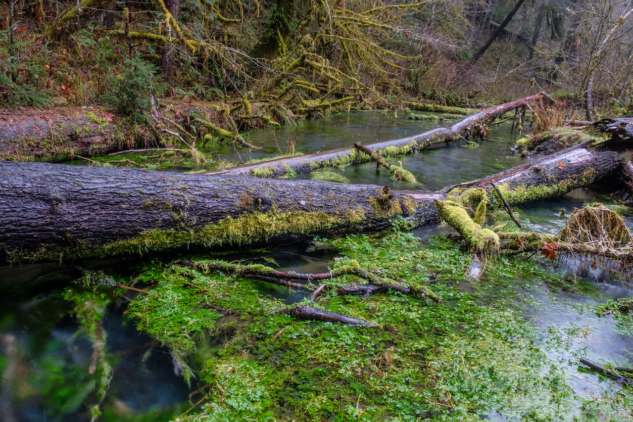20170311 Hoh Rainforest 039