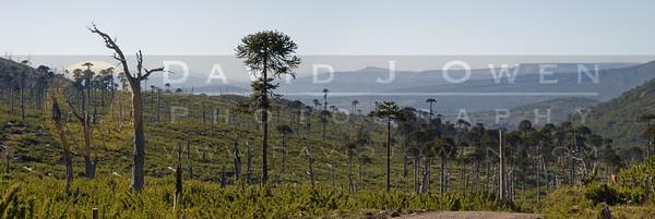 031408-026 Bosque Araucaria quemada pano