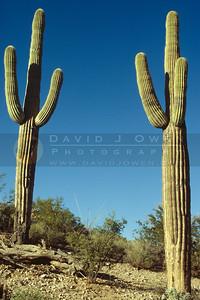 2450 Saguaro cacti