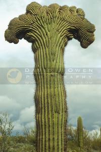2807 Palmated Saguaro