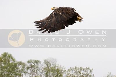 050507-207 Bald Eagle