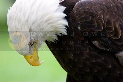 050507-049 Bald Eagle