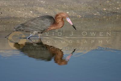 021505-20VAR 1 Reddish egret