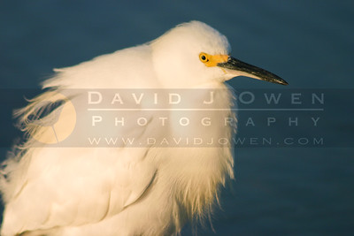 021905-08V 1 Snowy egret close