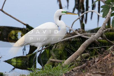 021307-118 Great Egret