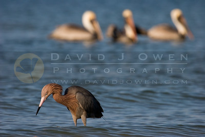 021307-032 Reddish Egret