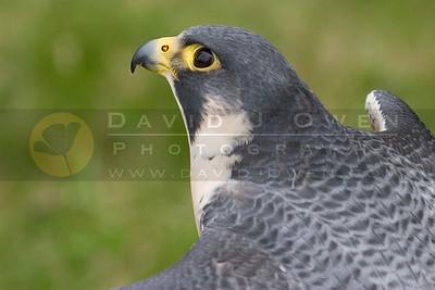 050507-173 Peregrine Falcon