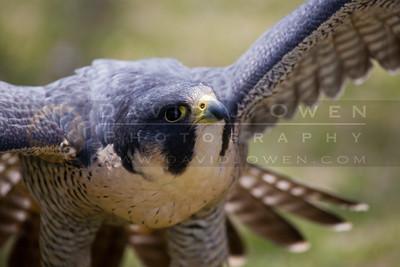 20090502-060 Peregrine falcon