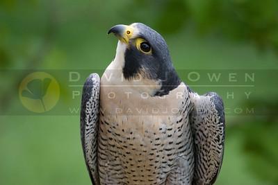 050507-185 Peregrine Falcon