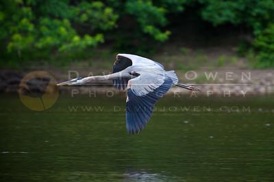 20100628-064 Great Blue Heron