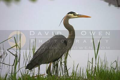 052805-22 1 Great Blue Heron