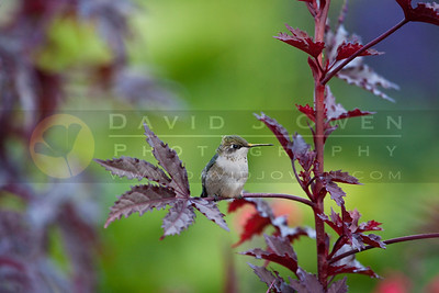 20090927-073 Ruby-throated hummer on Hibiscus