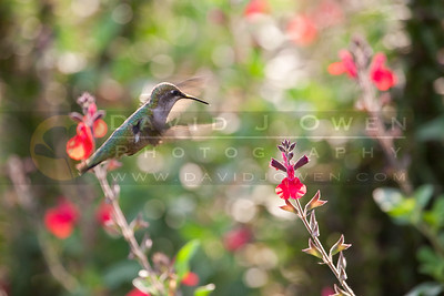 20090927-031 Ruby-throated hummer with Salvia
