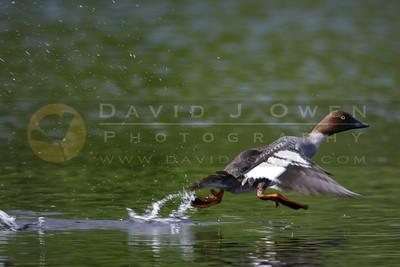 060605-06 Goldeneye in flight